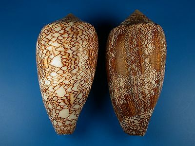 Conus textile, Contrasting Pair, Huge, 100 and 104mm, Philippines Shells