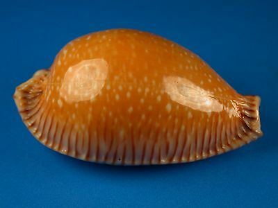 Cypraea guttata surinamensis, Beautiful Pattern, 50.3mm, Thailand Shell