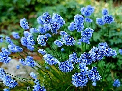 Allium sikkimense x 10 seeds Blue flowers
