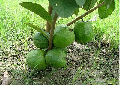 25 x Red Guava seeds fruit tree Fast Free Shipping From Sydney