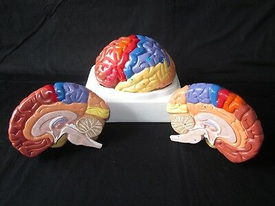 High Quality 2-Part Numbered Anatomical Regional Human Brain Anatomy Model