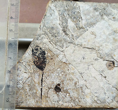 Fossils of leaves