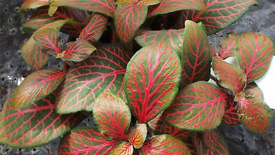 Fittonia 'Red Angel' Plant in a 8cm Pot