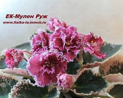 """African  violet """" EK-MOULIN ROUGE"""" Russian variety  MOTHER LEAF with  BEGINNERS."""