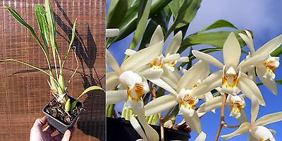Coelogyne flaccida, orchidée, Orchid,