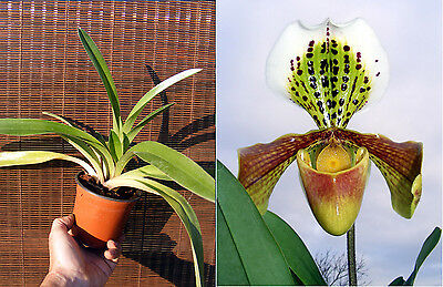 Paphiopedilum American hybrid, orchidée, Orchid