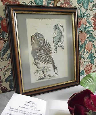 ARGUS TAILOR BIRD ANTIQUE PRINT FRAMED 19th century NATURAL HISTORY P