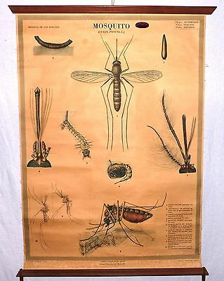 VINTAGE ROLL SCHOOL ANIMALS - THE MOSQUITO - ANTIQUE POSTER 100x74Cm Cartel