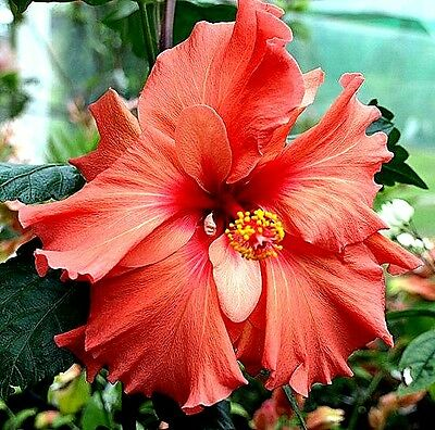 Hibiscus rosa-sinensis 'Holly's Pride' x 1 young plant. Not for NT