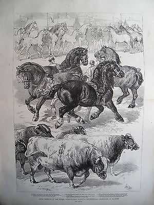 1879 Prize Animals Agricultural Exhibition Kilburn Print Illustrated London News