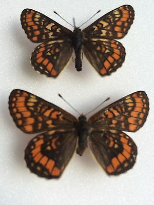 A Pair Of Portuguese Ssp Beckeri Butterfly Specimens