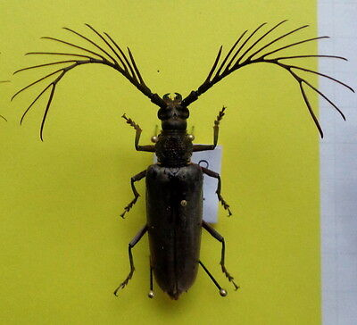 ***  BEETLES, insects,  (K127), Cerambycidae,  Cyriopalus wallacei ***