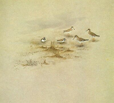 Print.  Ringed Plover and Redshanks.  Miniature.  George Lodge