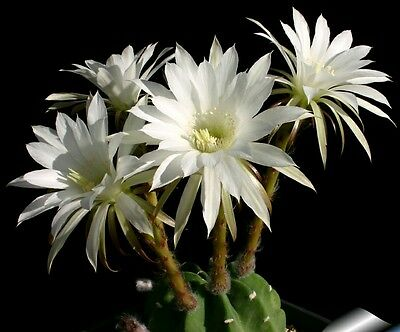 Echinopsis subdenudata Easter Lily Cactus young plant cacti succulents