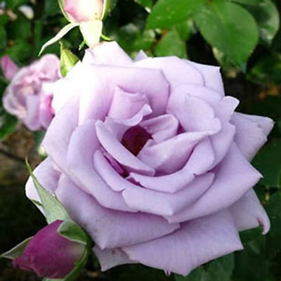 20 x Violet Rose Seeds  ! Fast Free shipping Australia Wide
