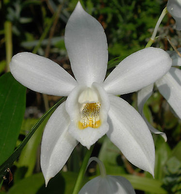 Rarely offered species orchid Coelogyne mooreana division flowering now