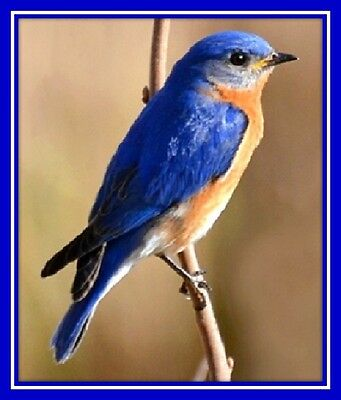 30 Custom Eastern Bluebird Personalized Address Labels