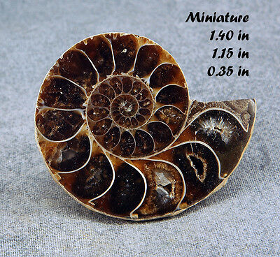 Fossil Ammonite Half Polished Madagscar Fossil Mineral Rock Fossilized