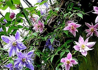 Clematis macropetala Hybrids Mixed x 10-12 seeds
