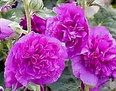 "Hollyhock (Alcea rosea) ""Charter's Double Violet Queen"" x 10 seeds"