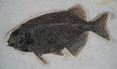 "Museum or Hotel Lobby 12.1"" Phareodus Fish Fossil Green River Formation Wyoming"