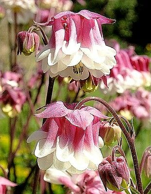 Aquilegia vulgaris 'Pink Petticoat', Columbine x 30 seeds. Double colour