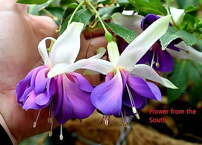 "Fuchsia ""Quasar"" x 1 plant. Large double flowers"