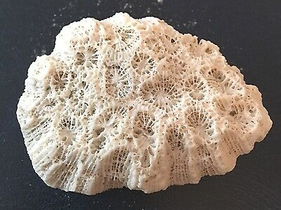 Fossil Sponge Or Coral, Devonian Period?