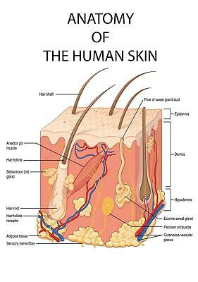 Educational Anatomy The Human Skin College University Medical poster A0 size