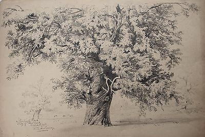 Fine drawing of Chestnut tree by Richard Toovey (1861-1927). Stoneleigh Park