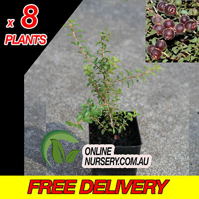 4x Kunzea Pomifera -Muntries | Native | BUSHTUCKER | Berry | Groundcover RARE