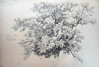 Fine 19th century drawing of Ash tree by Richard Toovey (1861-1927). 1879.