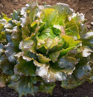 David's Garden Seeds Lettuce Carioca D3202A (Red) 500 Open Pollinated Seeds
