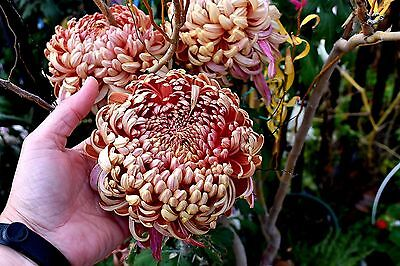"Chrysanthemum ""Stoakes Apricot Delight"" x 1 plant. Large Reflexed"
