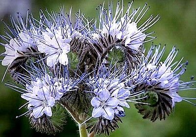 Phacelia tanacetifolia (Purple Tansy) x 100 seeds.Prime beneficial-insect plant
