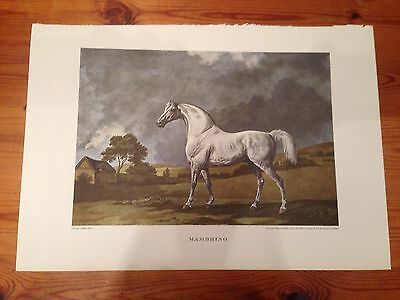 British Sporting Prints 1955 reproduction of George Stubbs race horse MAMBRINO