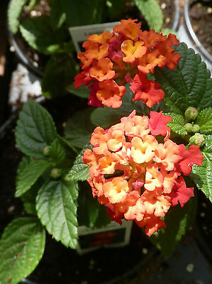 Dallas Red Lantana Blooming Starter Plant