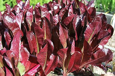 LETTUCE 'Red Cos' 300 seeds
