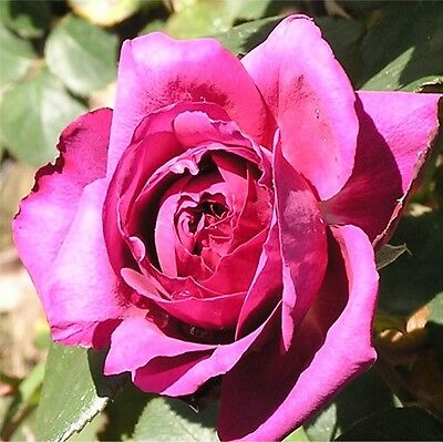 Bare Root Rose Big Purple Rose Bush Rose Plant Fragrant Purple Rose