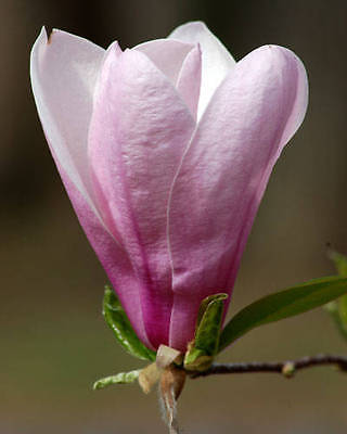 4 Magnolia plants garden flower shrub tree