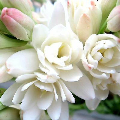 PEARL TUBEROSE Fragrance Oil Candle/Soap Making, Oil Burners, Diffusers