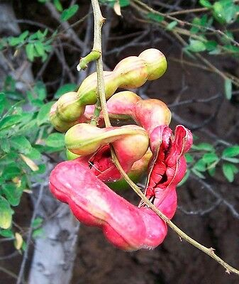 50 Pithecellobium dulce Fruit Tree Seeds Madras Thorn Manila tamarind