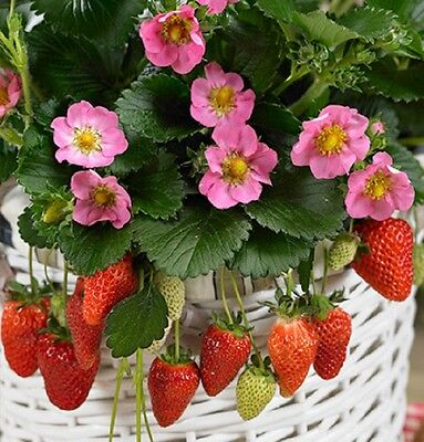 GIANT Delicious Strawberry*35-Finest Seeds*Four Season*One Plant 3-5kg*UK Seller