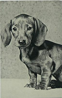 Postcard.dogs.dachshund,i Just Need A Home!.