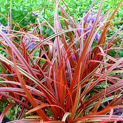 2 X 9Cm Pots Plants Uncinia Rubra Firedance ( Red Hook Sedge ) Grasses Everflame