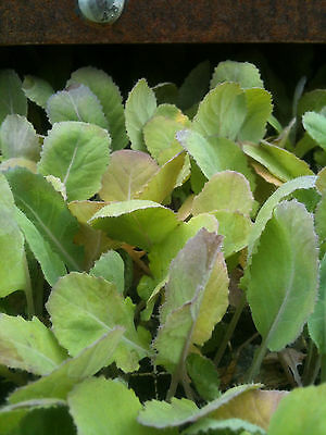 Swede   Plant Plugs ready to plant (20 plants) …
