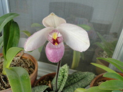 a growth (a plant) Paphiopedilum delenatii  BLOOM SIZE