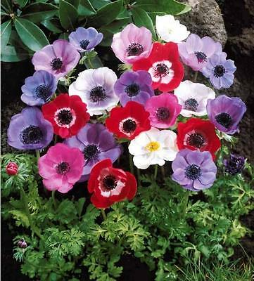 55 Anemone De Caen Mixed Colours Spring Summer Perennial Plant Flower Bulbs