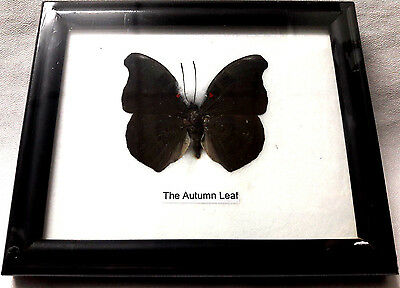 Collectible Taxidermy Real 1 Butterfly Insect Display in Wood Frame Gift