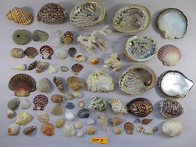 MIXED LOT 3 Seashells Shells - From Large Collection Australian Beach Ocean Sea